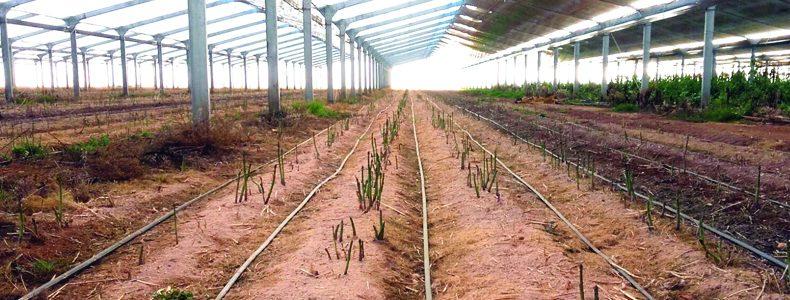 Los Gallombares se sitúa a la cabeza en la producción europea de espárrago verde